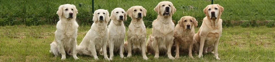 Goldenretriever bij Hondenpenning.net