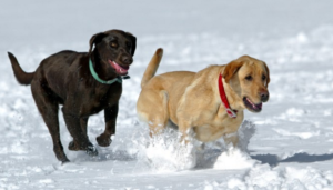 dogs-snow-running